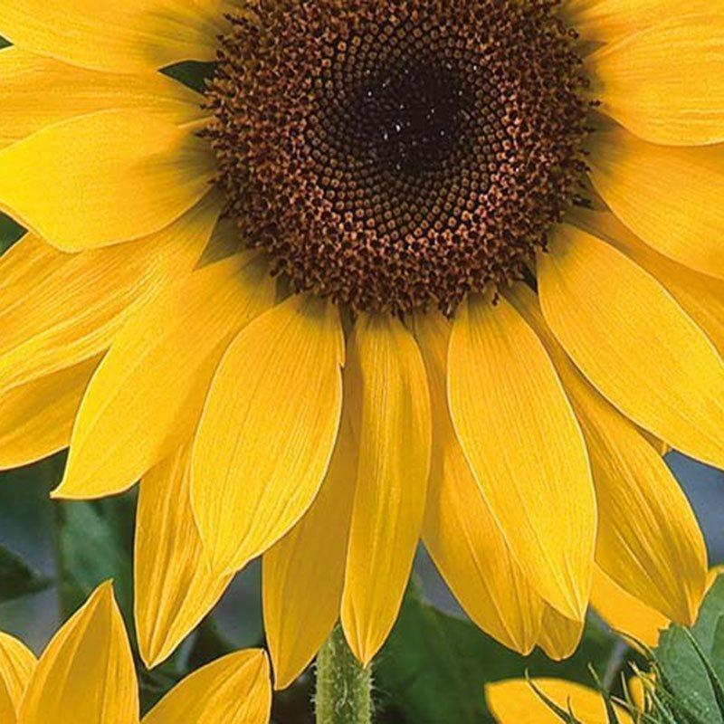 Siemenpussi Auringonkukka Jätti- Uniflorus