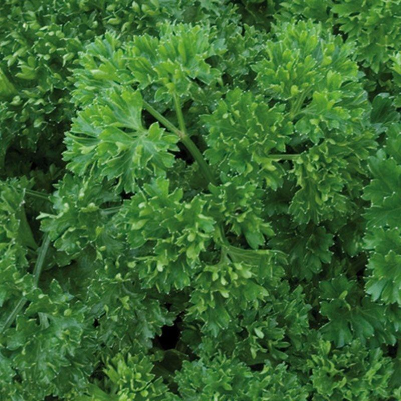 Siemenpussi Persilja Moss Curled 2